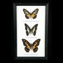 A Group of three framed butterfly specimen's.