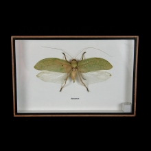 A framed grasshopper specimen, Sasuma SP. False leaf grasshopper