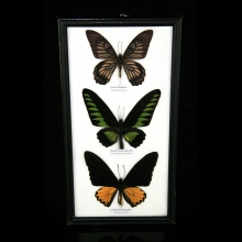 A framed group of butterfly specimens