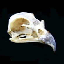 A Southeast Asian falcon skull specimen