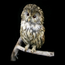 A Taxidermied Tawny owl.